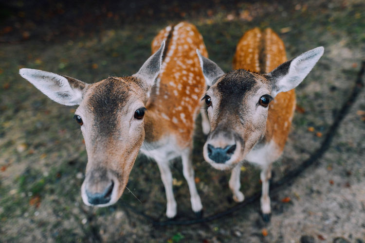 Portrait Of Fawns On Field