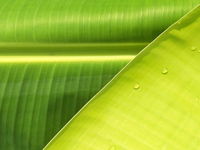 Soft focus of water drops on surface of green banana leaves for natural background concept Drops Water Colorful Green Leaves Natural Background Softly Focus Lines Pattern Surface Sunlight Sunshine Growing Nature Environment Garden Stalk Banana Leaf Backgrounds Full Frame Textured  Close-up Green Color Frond Banana Tree Blooming Botany Plant Life Blossom In Bloom