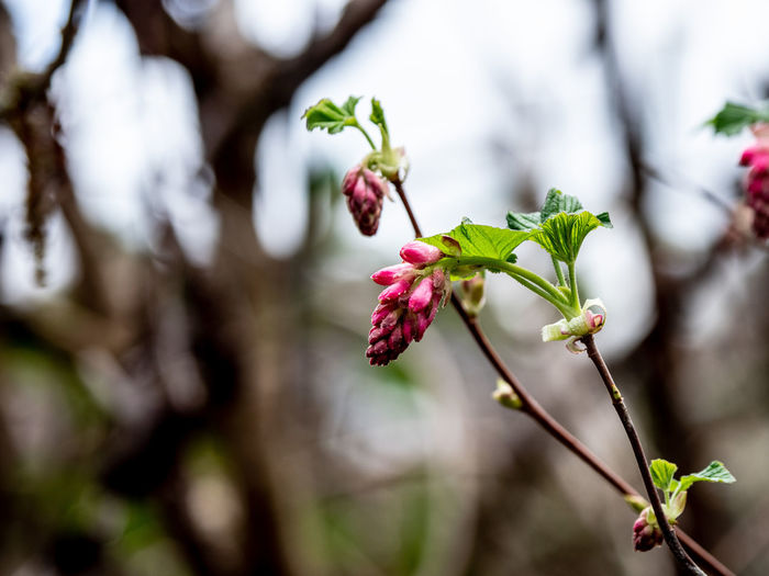 Woodlands Plant Growth Beauty In Nature Flower Close-up Flowering Plant Focus On Foreground Fragility Vulnerability  Freshness Nature Day No People Selective Focus Petal Pink Color Plant Part Leaf Outdoors Bud Flower Head Springtime