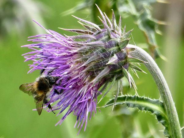 Distelblüte mit Biene