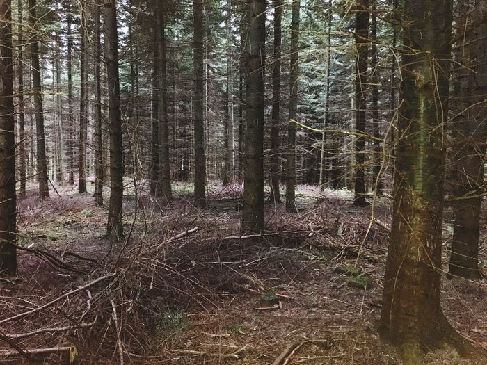 Creepy pine forest Creepy Tree Forest Plant Land WoodLand Growth Trunk Tree Trunk Tranquility Nature Non-urban Scene No People Tranquil Scene Beauty In Nature Scenics - Nature Day Environment Landscape Outdoors