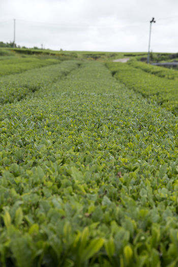rural landscape of green tea field at Osulloc in Jeju Island Agriculture Close-up Day Field Field Freshness Green Color Green Tea Green Tea Field Growth JEJU ISLAND  Landscape Nature No People Osulloc Outdoors Sky