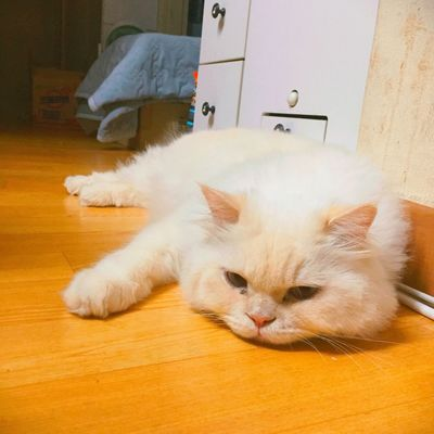 Heema Cat Cute Cats One Animal