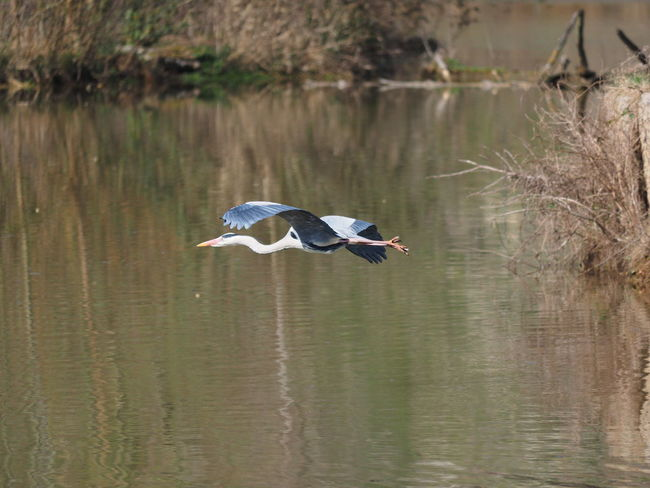 Animal Animal Themes Animal Wildlife Animals In The Wild Bird Bird In Flight Day Flying Gray Heron Heron Lake Nature No People One Animal Reflection Side View Spread Wings Water Water Bird Waterfront