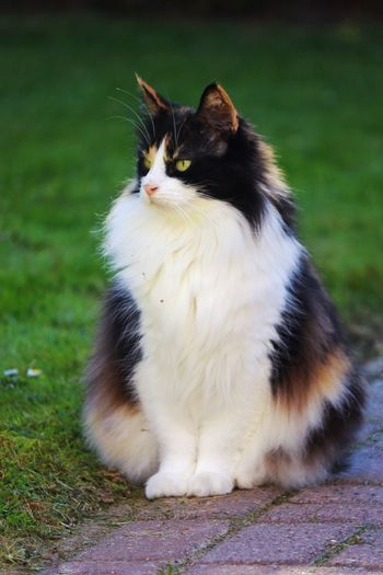 Plumsturt the Cat Cats Of EyeEm Lovecats Norwegian Forest Cat Norwegian Forestcat  Nature Close-up Outdoors Grass No People Sitting Cat Mammal Feline Domestic Animals Pets Animal Themes Domestic Cat One Animal