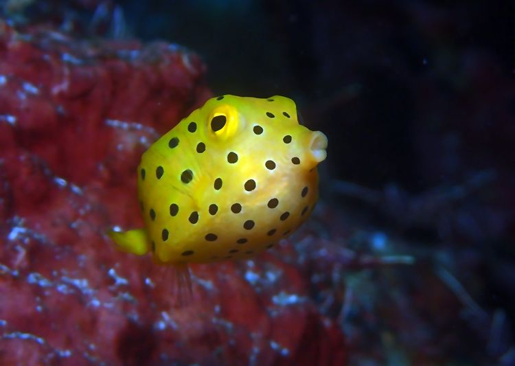 sleep well with a goodnight kiss: muah! Animal Themes Bali Island Goodnight Kiss Kiss Nature No People Olympus TG-4 Sea Life Swimming UnderSea Underwater Yellow Contrast Beauty In Nature One Animal Underwater Photography Scuba Diving Dotted Box Fish Cute Fish