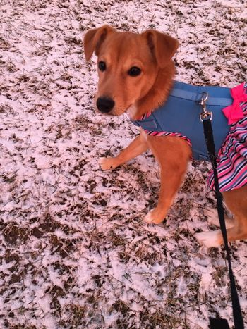 Rosie Domestic Animals Pets Dog One Animal Jackrussell Outdoors Snow ❄ No People Nature Day Portrait Winter Terrier Snow Dogs Dog Love Dogs Of EyeEm Dogslife Doglover Dog❤ Mammal Nature Brown