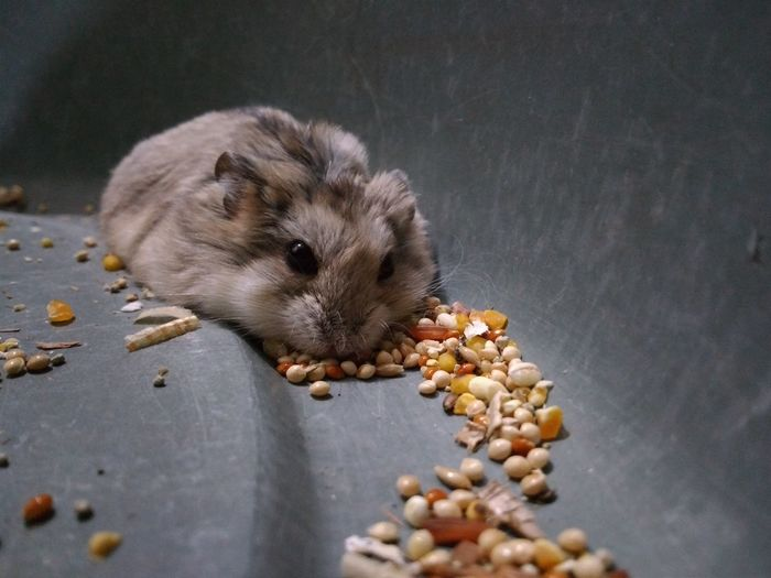 Eating Hedgehog Peanut - Food Close-up Animal Themes Rodent Hamster Sunflower Seed Nut - Food