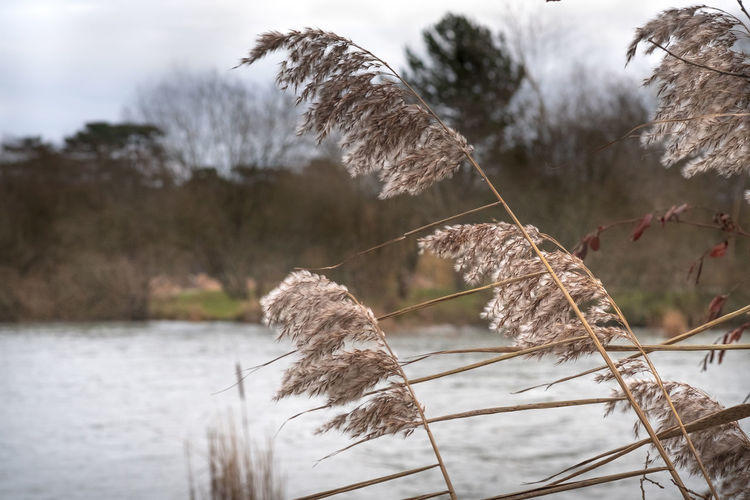 Close-up of dry plants against lake during winter