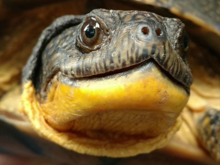 No Filter Animal Wildlife Box Turtle Houghton Lake