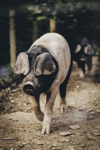 Pigs walking at farm