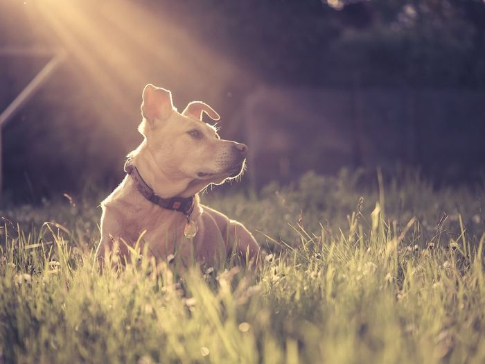 Sunlight falling on dog at grassy field