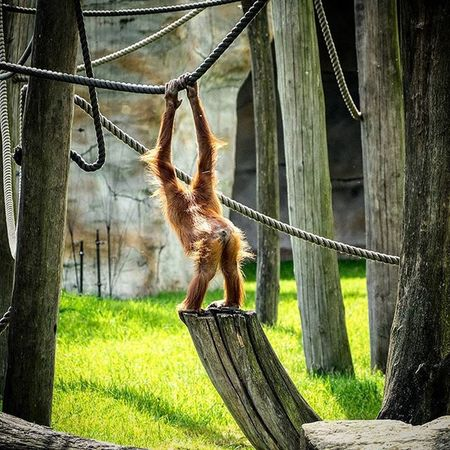 Zoom Zoomerlebniswelt Gelsenkirchen Zoo Affe Sommer Testbild Tier Olympus Picoftheday Bestoftheday Arsch Klettern