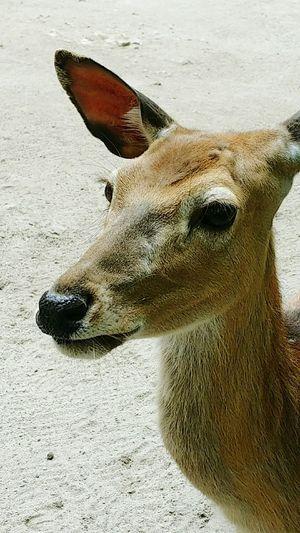 Zoo Animal Southwick Deer Massachusetts Phonecamera