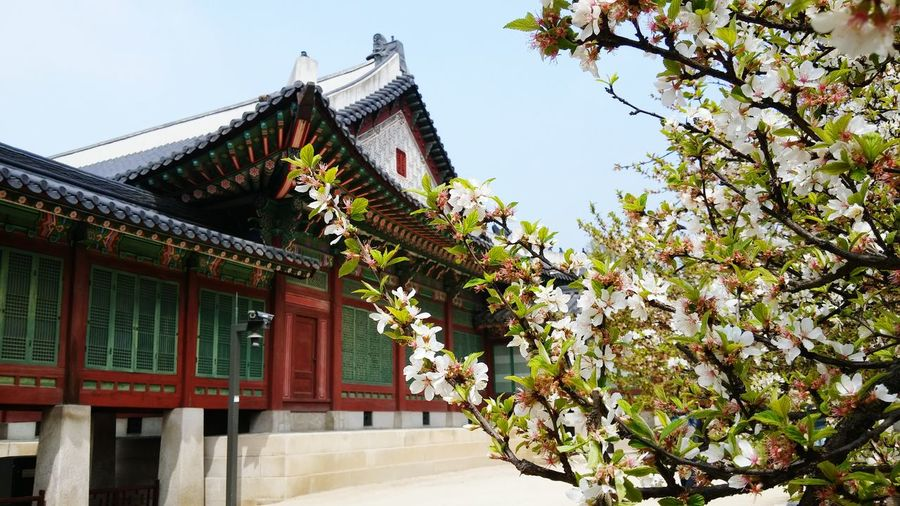 Traditional building by cherry tree on sunny day