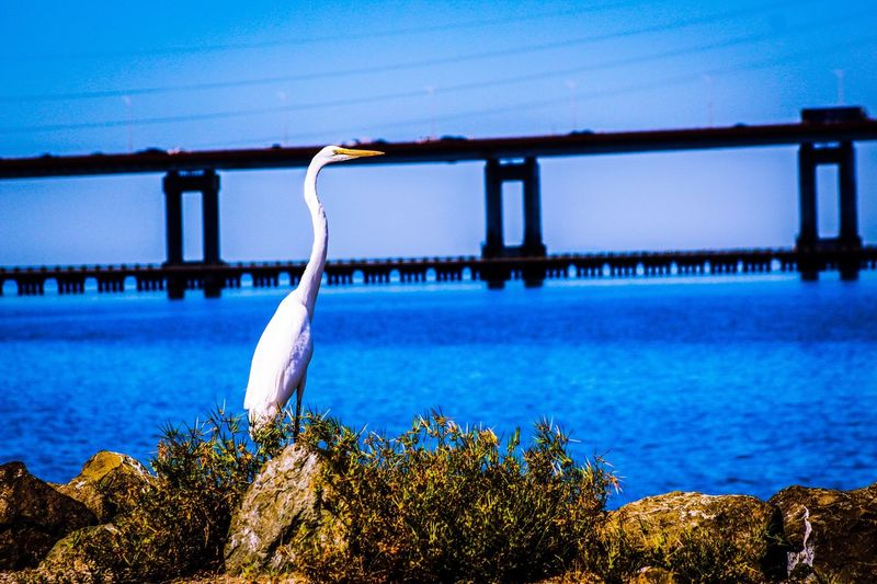 Birds_collection Snowy White Egret Bird Photography Eyemnaturelover Eyem Nature Lovers  San Mateo Bridge Bridge Eyemphotography Eye4photography  San Francisco Bay Eyem Gallery Birdwatching Blue Wave