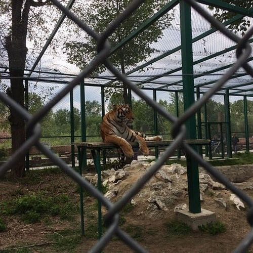 Chainlink Fence Cage Protection Focus On Background Zoo Feline Animal Themes One Animal Mammal Domestic Cat Day Prison Playing Tree Monkey Outdoors Trapped Prisoner No People Nature