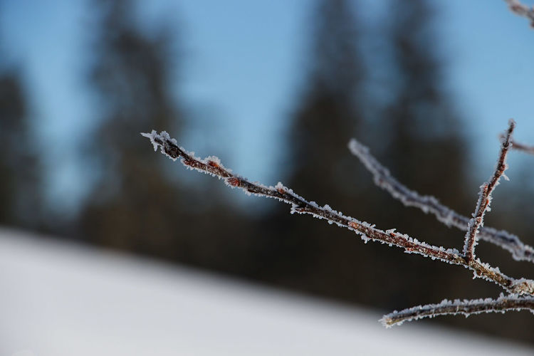 Focus On Foreground Close-up Winter Plant Cold Temperature No People Day Nature Frozen Selective Focus Beauty In Nature Frost Twig Tranquility Snow Ice Growth Tree Outdoors Dead Plant The Week on EyeEm My Best Photo 17.62°