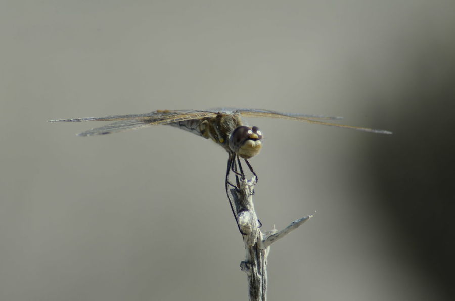 Animal Themes Animals In The Wild Close-up Day Dragonfly Insect Nature One Animal Outdoors