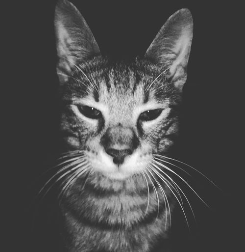 Cat Cats Cat Lovers Cats Of EyeEm Catsofinstagram Cats 🐱 Cat Photography Blackandwhite Black & White Domestic Cat Pets One Animal Animal Themes Domestic Animals Black Background Looking At Camera