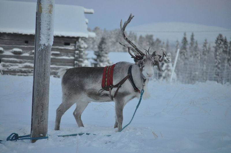 Moose on snow covered landscape
