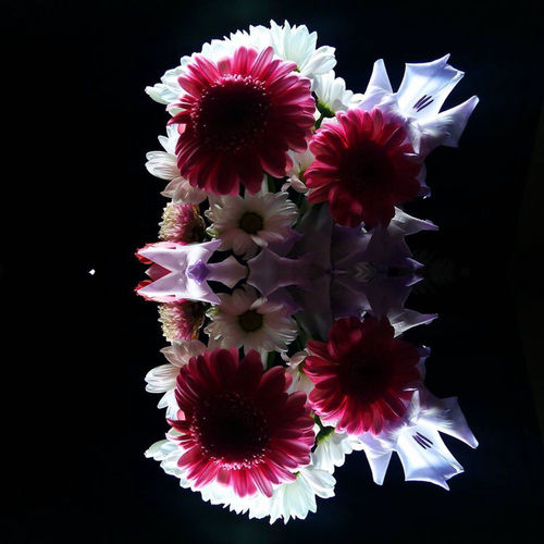 Mirror Image Reflection Backlit Flowers Beauty In Nature Black Background Blooming Close-up Day Flower Flower Head Flowers Dark Background Fragility Freshness Growth Jewel Flowers Nature No People Outdoors Petal Pink Flowers Red Flowers Reflected Flowers Reflections Studio Shot White Flowers