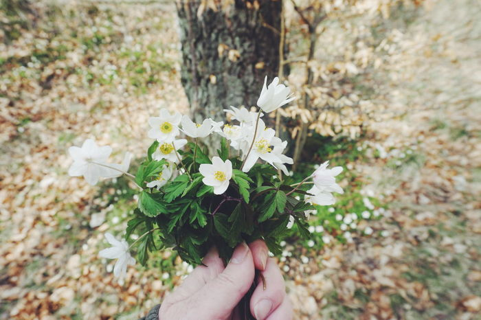 Beauty In Nature Close-up Day Flower Flower Head Fragility Freshness Holding Human Body Part Human Finger Human Hand Nature One Person Outdoors People Personal Perspective Picking Flowers  Real People Spring Spring Flowers Springtime Wood Anemone