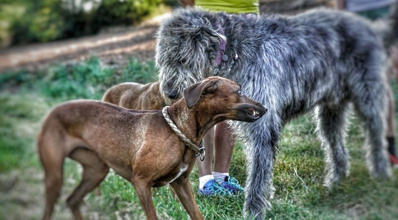 Animal Themes Domestic Animals Animal Head  Outdoors Hairy  Dog Days Irish Wolfhound Gentle Giant Dogs Of EyeEm Willi The Wolfhound Animal Hair Grumpy Face