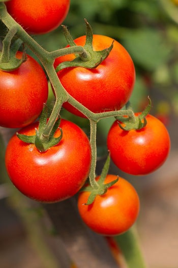 Ripe grape tomatoes on plant, ready for picking, close-up view