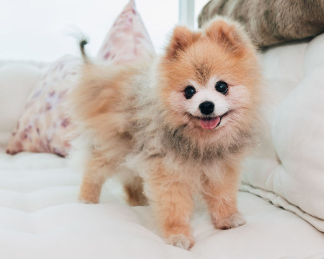 Pomeranian dog portrait One Animal Mammal Pets Domestic Domestic Animals Pomeranian Dog Canine Purebred Breed Portrait Pom Animal Animal Themes Indoors  Looking At Camera Focus On Foreground Close-up Looking Smiling