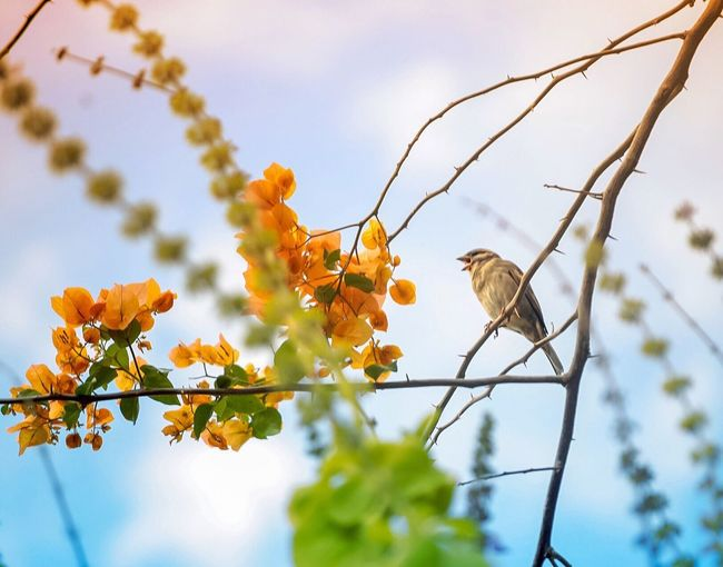 Low angle view of sparrow perching while shouting by yellow bougainvillea flowers