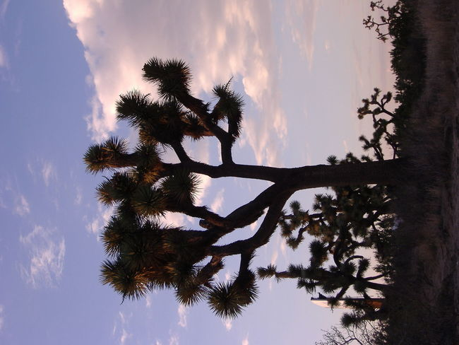 Beauty In Nature California Cloud - Sky Day High Desert Wildlife Joshua Tree Low Angle View Nature No People Outdoors Sky Sunset Tree EyeEmNewHere