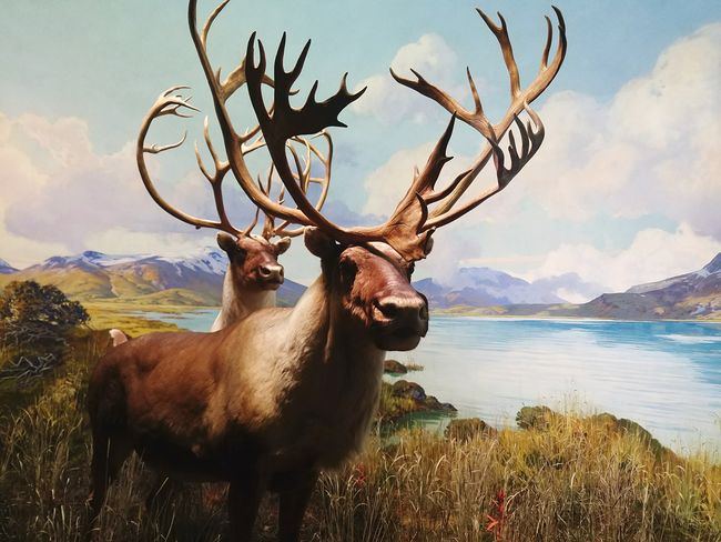 I got up close and personal with some caribous and I survived! 🤣 Diorama Taxidermy AMNH American Museum Of Natural History Caribou Antler EyeEm Selects Male Animal