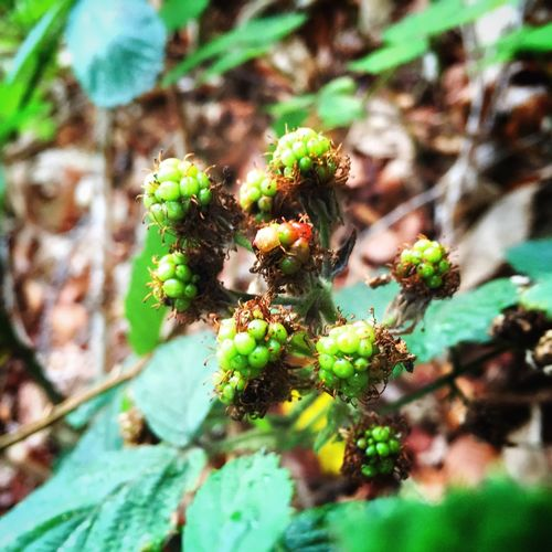 Ripening. Nature On Your Doorstep Plants Berries Blackberries Environment Livingplanet Flower WoodLand Fruit Grow