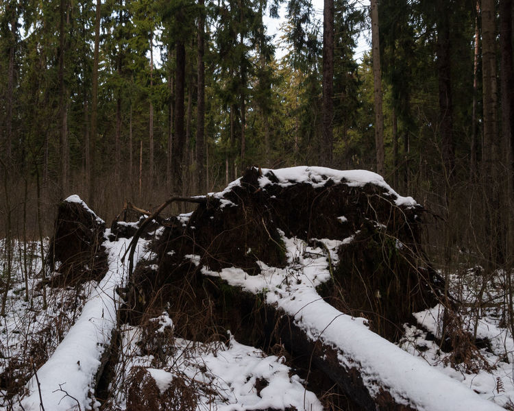 Winter composition Fallen Tree Fallen Trees Novopolotsk Winter Wintertime Beauty In Nature Cold Temperature Day Forest Nature No People Outdoors Snow Tree Tree Trunk Winter