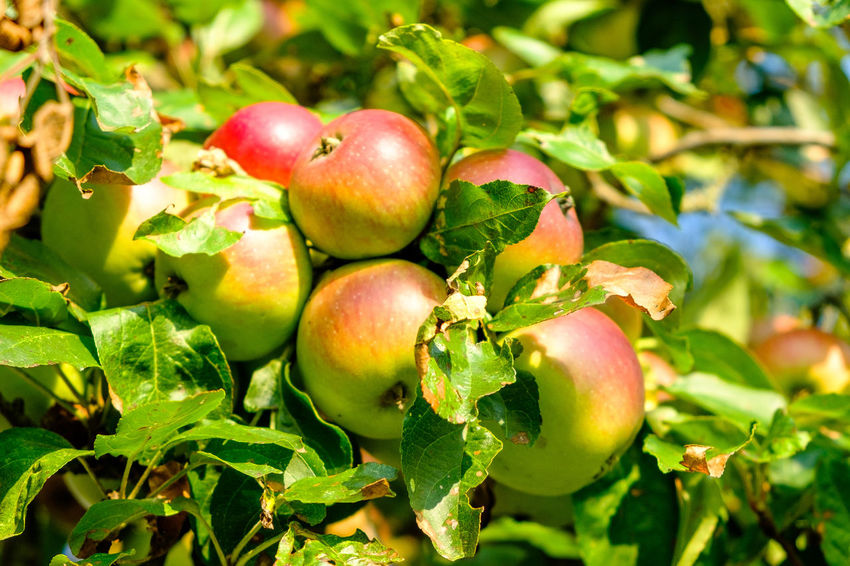 Apple on a tree Vegan Food Apple Tree Apple Apples Apple - Fruit Agriculture Agriculture Photography Appletree Appletrees Fruits Fruit Tree Obstbaum Apfel Apfelernte Harvest Time Harvest Obsternte Healthy Fruits Healthy Food Fruit Food And Drink Freshness Healthy Eating Food Green Color Growth Nature Plant Tree No People