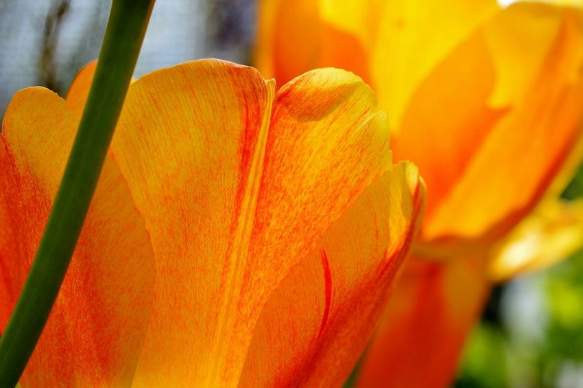 Tulips at the end of April... Tulip Tulips Flower Flowers Flowers_collection Yellow Tulips Beauty In Nature Nature's Diversities Plant Plants Macro_flower Close-up Nikon Nature_collection Nature Photography Petal Botany Stem Yellow Macro Macro Photography Macro Beauty Macro_collection Reichenau Germany