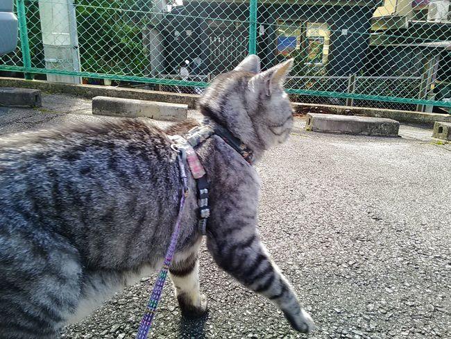 おはにゃ~😆 Zenfone5 Mycat ねこ Playing With The Animals KAWAII Cute Zenfone Photography Dandy Cat ダンディ