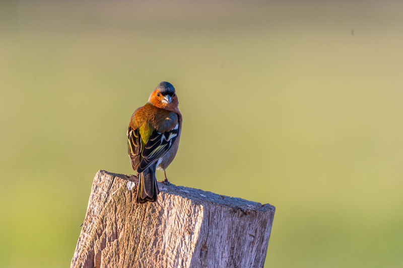 Animal Animal Themes Animal Wildlife Animals In The Wild Beauty In Nature Bird Bird Of Prey Day Nature No People One Animal Outdoors Perching Songbird  Wood - Material Yellow