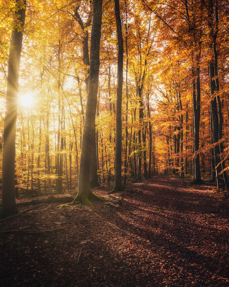 Sunlight streaming through trees in forest during autumn