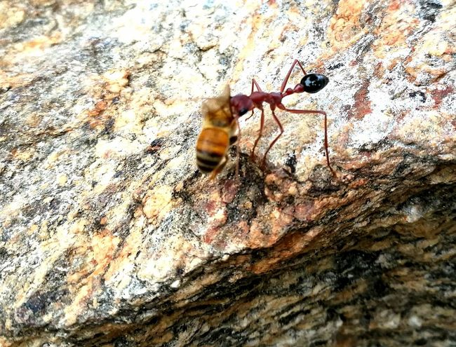 Gazisonit Australia Sergeant Ant Bee Big Ant Animal Themes One Animal Animals In The Wild Insect No People Close-up Day Nature Outdoors