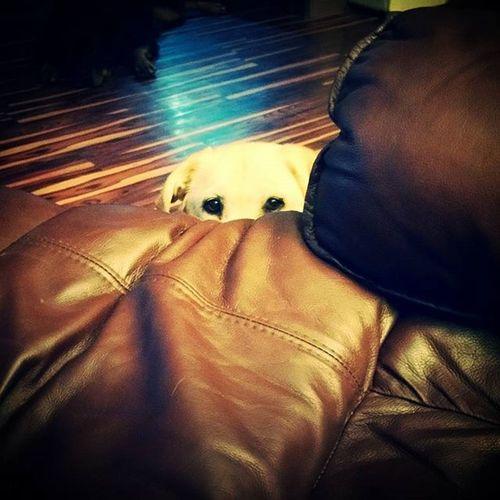 Whenever I eat, I get the feeling I'm not alone. Stalkerdog Labradorsofinstagram Jillybean
