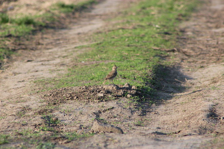 Which way to choose? A Crested Lark Animal Themes Animal Wildlife Animals In The Wild Bird Close-up Crested Lark Day Galerida Cristata Nature No People One Animal Outdoors Paralel Road Roads Tiny Bird Wide