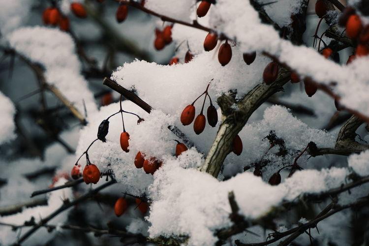Snow covered cherry tree