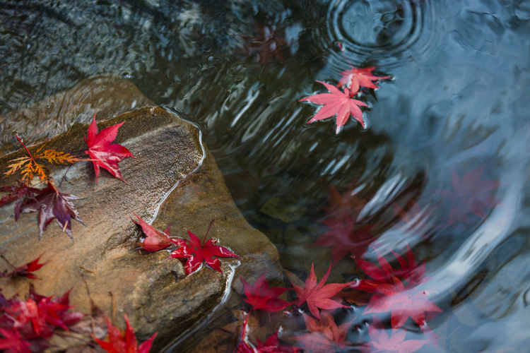 Beauty In Nature Blue Change Close-up Day Floating On Water Fragility Leaf The Great Outdoors - 2016 EyeEm Awards Leaves Maple Multi Colored Nature No People Outdoors Petal Pink Color Plant Pond Red Rippled Rock Tranquility Water Nature's Diversities