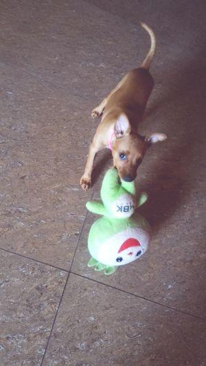 play with meeee. Pets Dog Love Dog❤ Dog Life Doglover Dogs Dogslife Dog Lover Pet Doglovers Dog Minature Pincher Minipinscher Mini Pincher