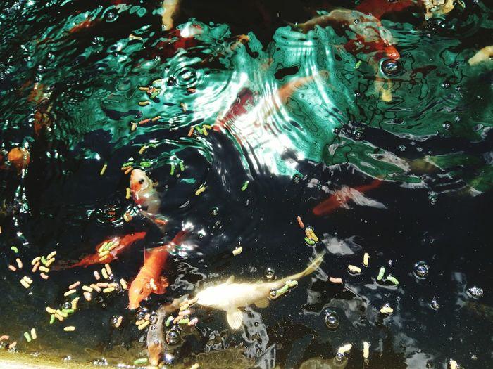 Koi Koi Carp Carp Koi Fish Koishikawa Korakuen Koifish Koi. Koi Fishes Koi Fish Swimming Koi Carps Koi Koi Ponds Koisas De Kinha Kois Fish Japonen Kois Grande Kois En Estanque Kois De Color Dorado Y Plateadoç Kois Peces EyeEm Best Shots Eye4photography  EyeEm Selects EyeEmNewHere EyeEm Gallery Eyemphotos Landscape_Collection Fish Fishing Water Swimming Underwater Close-up