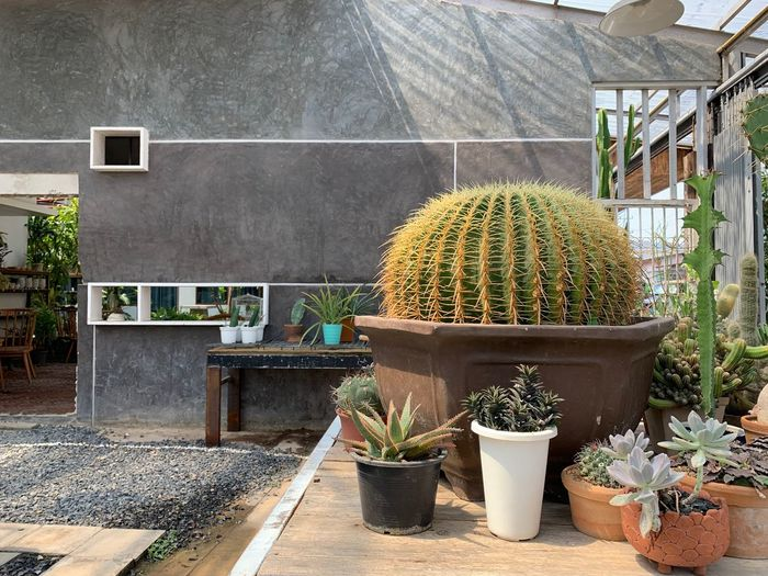 Plant Growth Potted Plant Nature Cactus Succulent Plant No People Day Green Color Container Architecture Barrel Cactus Botany Outdoors Beauty In Nature Wall - Building Feature Gardening Building Exterior Thorn Flower Pot Houseplant