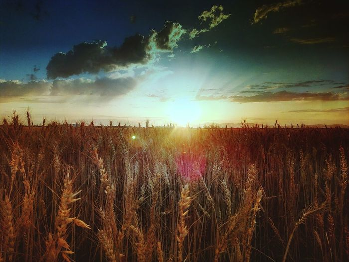 Field Agriculture Growth Nature Rural Scene Sun Dramatic Sky Sunset Landscape Crop  Plant Tranquil Scene Outdoors Tranquility Summer Abundance Cereal Plant No People Sky Beauty In Nature The Great Outdoors - 2017 EyeEm Awards Second Acts Be. Ready. Love Is Love Capture Tomorrow Capture Tomorrow