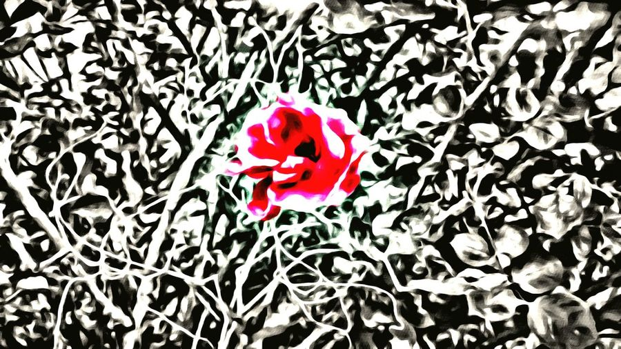 Nature_collection Rose🌹 Decor Desert Beauty Filtered Image Redrose  Wall Art No People Plants And Flowers Painting With A Camera Paintingphotography Blackandwhite Photography Black And White Red